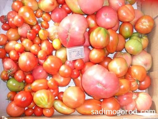 перец в томате на зиму: урожай томатов