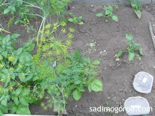 выращивание картофеля из семян 8