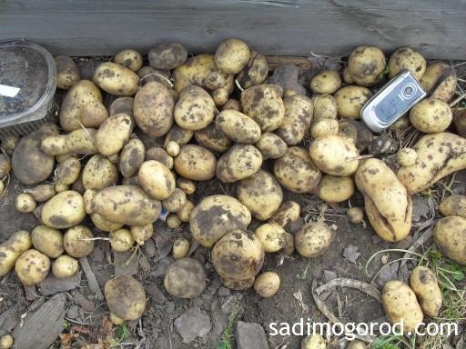Выращивание картофеля из семян 11