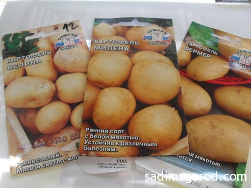 выращивание картофеля из семян 2