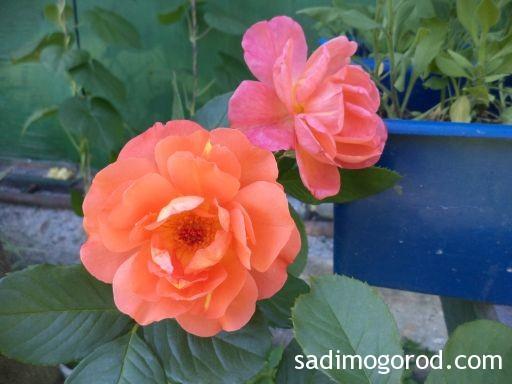 роза вестерленд