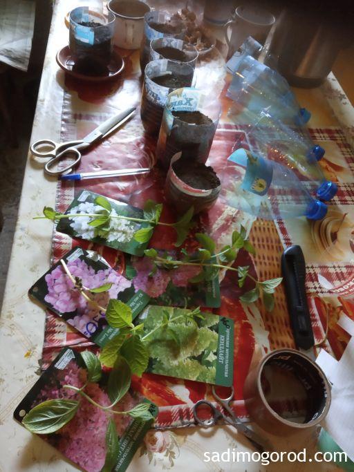 Зеленое черенкование гортензий: процесс