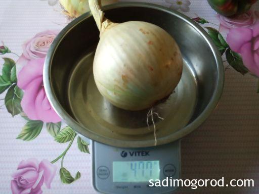 """Луковица сорта """"Эксибишен"""", выращенная через рассаду, на весах"""