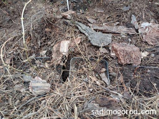 метельчатая гортензия после зимы