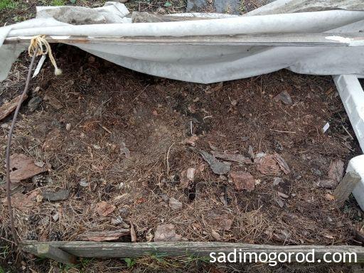 Метельчатая гортензия после зимы из черенков