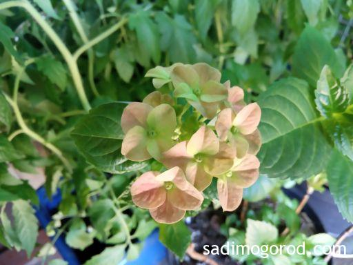 Гортензия крупнолистная расцветает