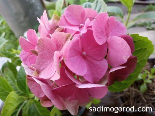 Крупнолистная гортензия после зимы цветет розовыми цветами.
