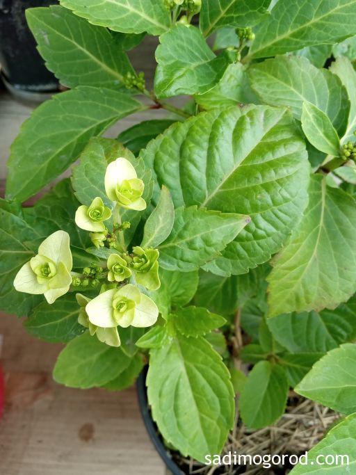 Гортензия крупнолистная  с бело-зелеными цветами.
