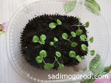 Герань из семян