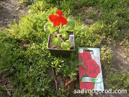 Первое цветение пеларгонии из семян