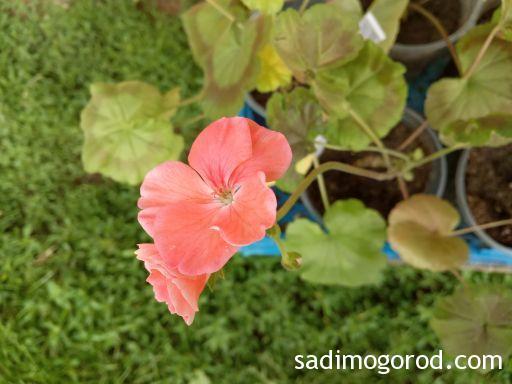 Пеларгонии из семян начинают цвести