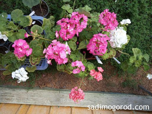 Выращивание пеларгонии из семян;цветение