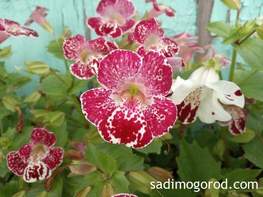 Цветок мимулюс
